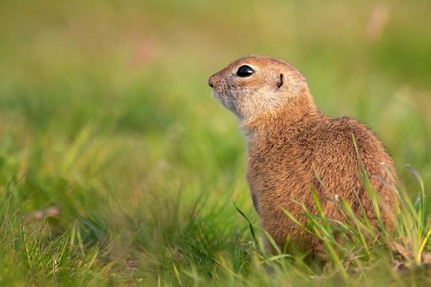Wiewiórka ziemna spermophilus pygmaeus stojąca na trawie