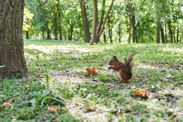 Wiewiórka zjada watę cukrową w parku
