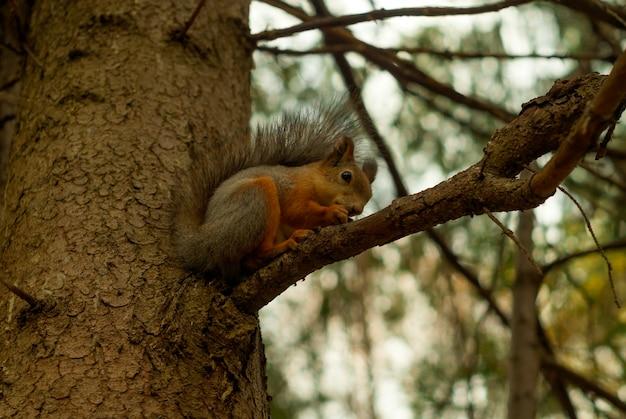 Wiewiórka zwyczajna siedzi na gałęzi świerkowej w jesiennym lesie i je