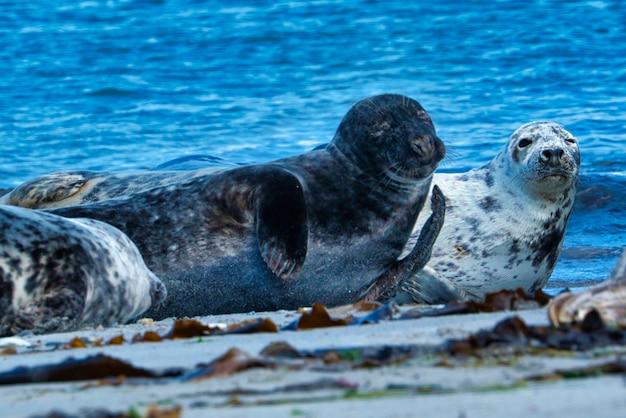 Wijd Foka Szara Na Północnej Plaży Helgolandu - Wyspa Dune I- Morze Północne - Niemcy Premium Zdjęcia