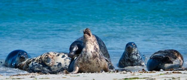 Wijd foka szara na północnej plaży helgolandu - wyspa dune i- morze północne - niemcy