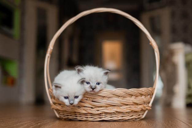 Wiklinowy kosz z dwoma małymi puszystymi białymi kociętami na drewnianej podłodze rodowód zwierzaka