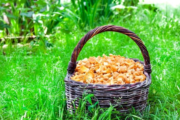 Wiklinowy kosz z kurkami grzybowymi na tle zielonej trawie
