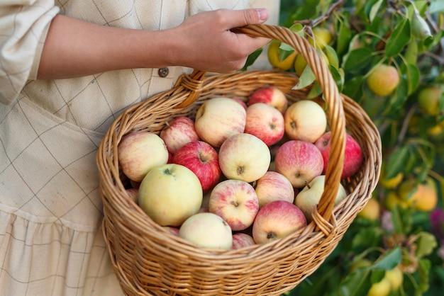 Wiklinowy kosz ze świeżymi jabłkami zbieranymi w ręce kobiety