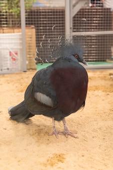 Wiktoria wieńczy gołębi w gospodarstwie