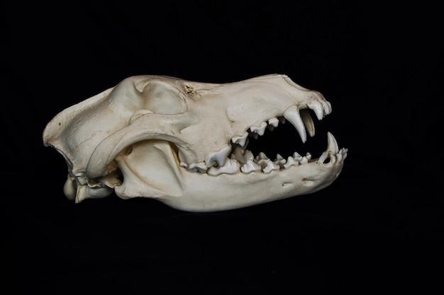 Wilcza czaszka z dużymi kłami w otwartych ustach na czarnej ścianie