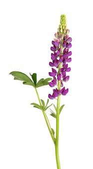 Wilczy fioletowy kwiat na białym tle. fasola lupinus lub wolf. piękne letnie kwiaty.