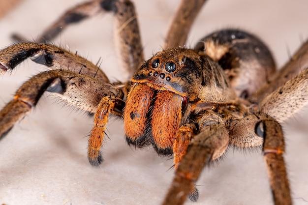 Wilczy pająk z gatunku lycosa erythrognatha