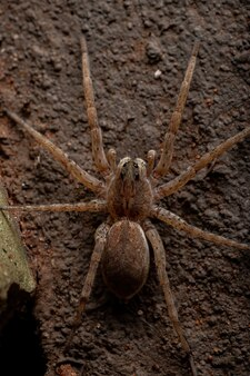 Wilczy pająk z rodziny lycosidae