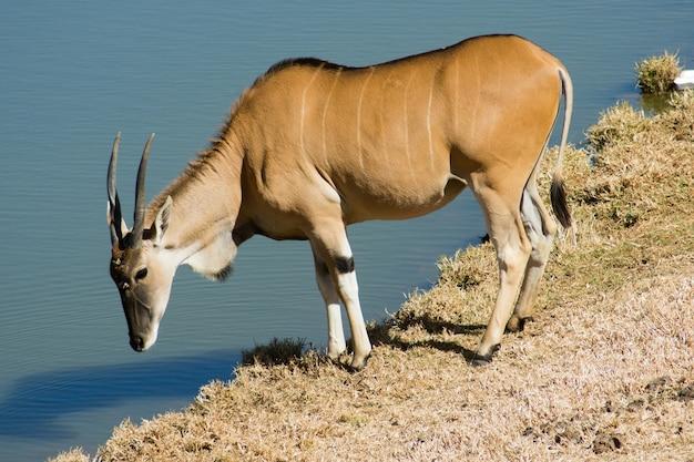 Wild common eland (lub antelope) pije wodę ze stawu w rezerwacie gry