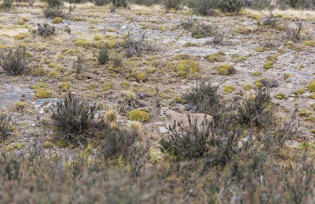 Wild cougar (puma concolor) w parku narodowym torres del paine w chile.