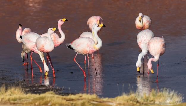 Wild james flamingo je i odpoczywa w laguna colorada. altiplano. boliwia. ameryka południowa