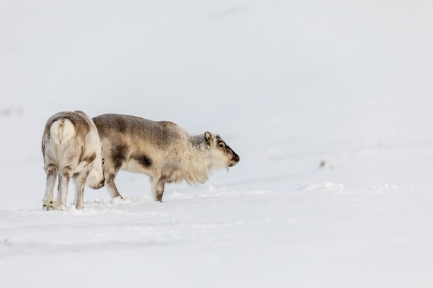 Wild svalbard reindeer, rangifer tarandus platyrhynchus, dwa zwierzęta stojące na śniegu na pustyni w svalbard w norwegii