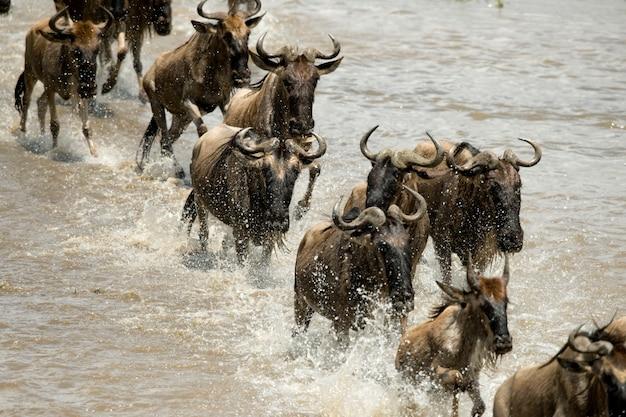 Wildebeest bieg w rzece w serengeti, tanzania, afryka