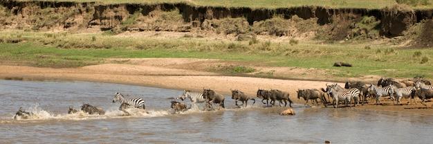 Wildebeest i zebra krzyżuje rzekę w serengeti, tanzania, afryka