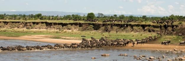 Wildebeest krzyżuje rzekę w serengeti, tanzania, afryka