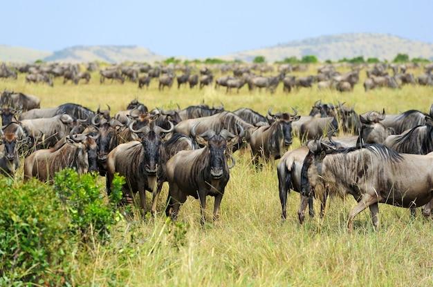 Wildebeest na sawannie, park narodowy kenii, afryka