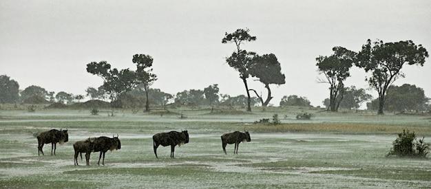 Wildebeest w deszczu, serengeti park narodowy, serengeti, tanzania, afryka