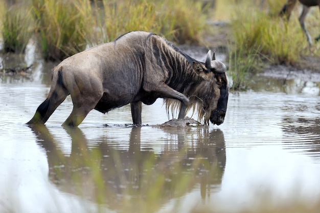 Wildebeest w parku narodowym kenii