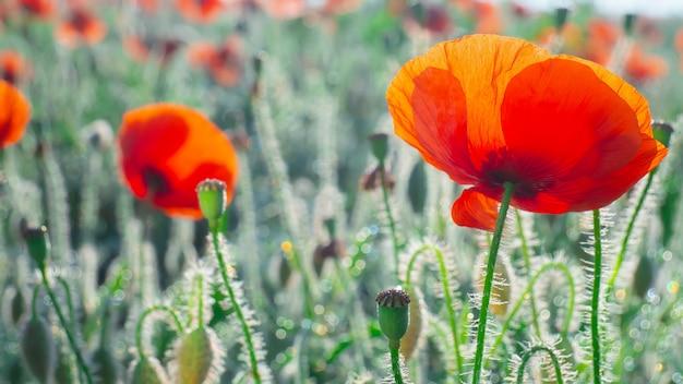 Wildflower maku, przeciw błękitne niebo