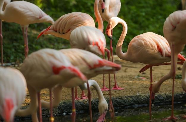 Wildlife animal, flamingos to typ ptaków brodzących, ulotek. flamingi zwykle pozostają aktywne