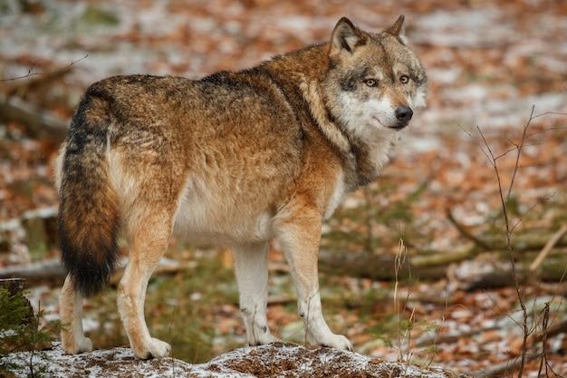 Wilk eurazjatycki stoi w naturalnym środowisku w lesie bawarskim