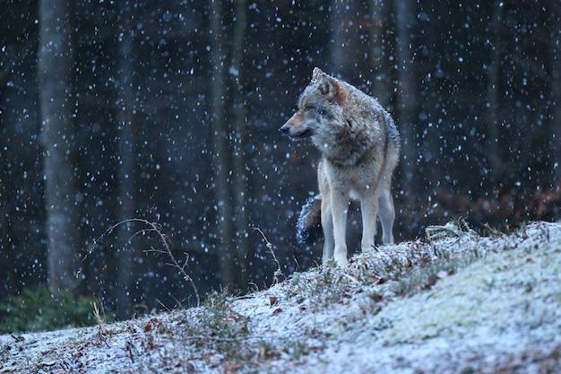 Wilk eurazjatycki w białym zimowym siedlisku piękny zimowy las