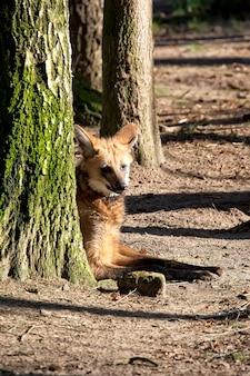 Wilk grzywiasty w lesie