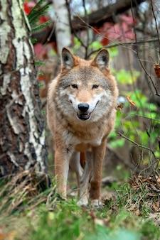 Wilk leśny w jesiennym lesie