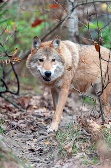 Wilk leśny w lesie jesienią