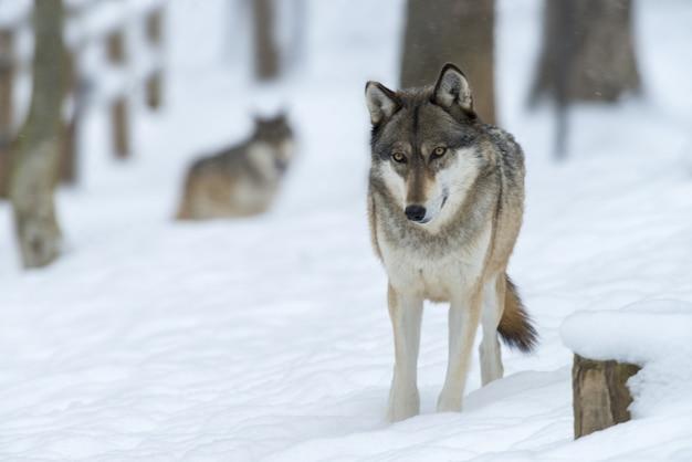 Wilk w lesie pokrytym śniegiem w słońcu