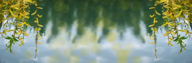 Willow salix alba szczegóły drzewa, młoda roślina znana jako biała wierzba świeże pędy natura zielony abstrakcyjny