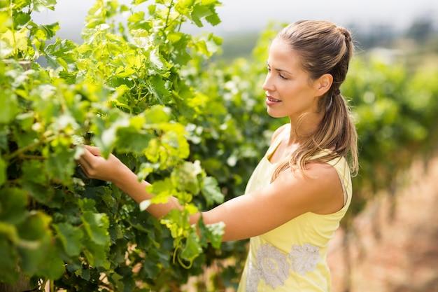 Winiarz sprawdzający uprawę winogron