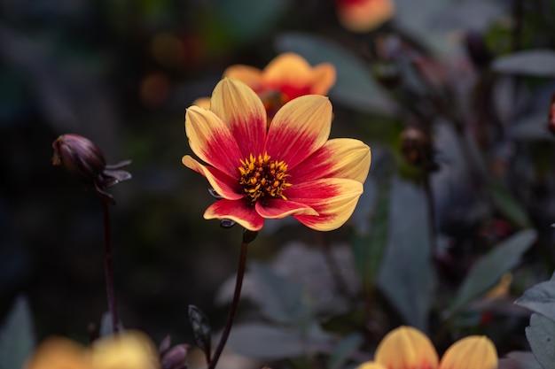 Wink dahlia kwiatowe pomarańczowe kwiaty z ciemnymi liśćmi w ogrodzie.