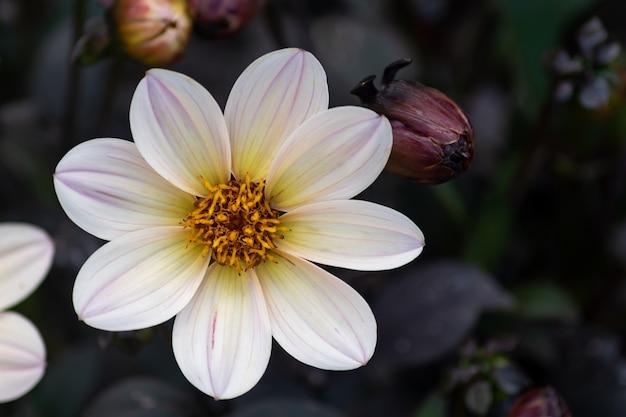 Wink dahlia kwiatowy z białymi kwiatami i ciemnymi liśćmi w ogrodzie.
