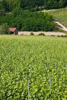 Winnica Barbera W Sezonie Wiosennym, Okolice Monferrato, Region Piemont, Włochy Premium Zdjęcia