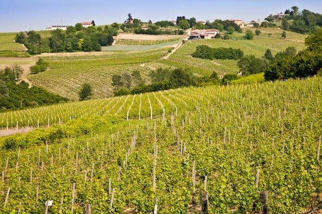 Winnica barbera w sezonie wiosennym, okolice monferrato, region piemont, włochy