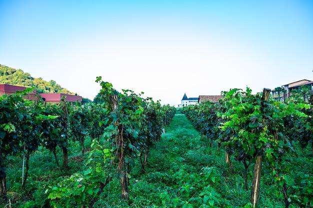Winnica lopota w pobliżu napareuli w regionie winiarskim gruzji, kakheti w słoneczny dzień