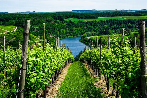 Winnica we francji, winnica latem z błękitnym niebem i chmurami, słoneczny krajobraz winnicy