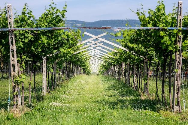 Winnica wina bardolino na wiosnę, kiedy winogrona jeszcze nie wyrosły.