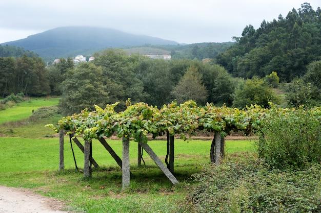 Winnica z dojrzałymi winogronami w wsi.