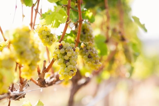 Winnica z dojrzałymi winogronami