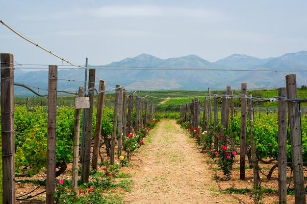 Winnica z rzędami winogron
