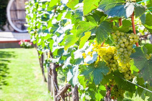 Winnice na polu. winogrona z winorośli i liści przy słonecznej pogodzie.