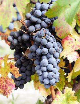 Winnice niebieskich winogron w czasie zbioru