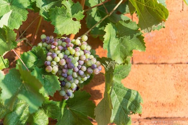 Winnice o zachodzie słońca. dojrzałe winogrona jesienią.