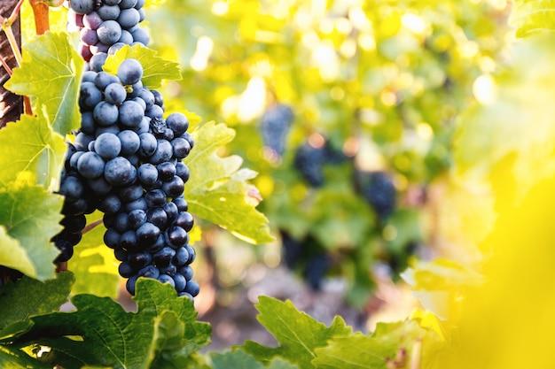 Winnice o zachodzie słońca jesienią zbiorów. dojrzałe winogrona jesienią
