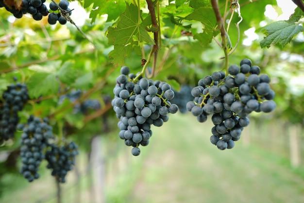 Winnice o zachodzie słońca w jesiennych zbiorach dojrzałe winogrona jesienią