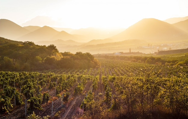 Winnice o zachodzie słońca
