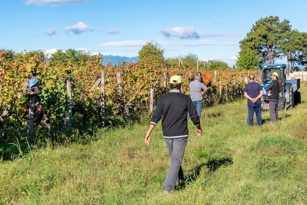 Winnice obszaru winiarskiego gruzji kakheti, winnice telavi, rtveli w kachetii na kaukazie.